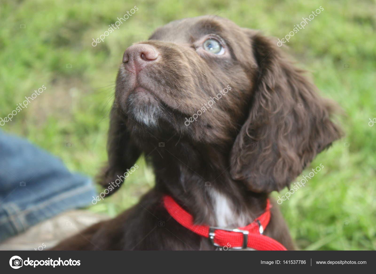 Very Cute Brown Working Type Cocker Spaniel Pet Gundog Puppy Stock Photo C Chrisga 141537786