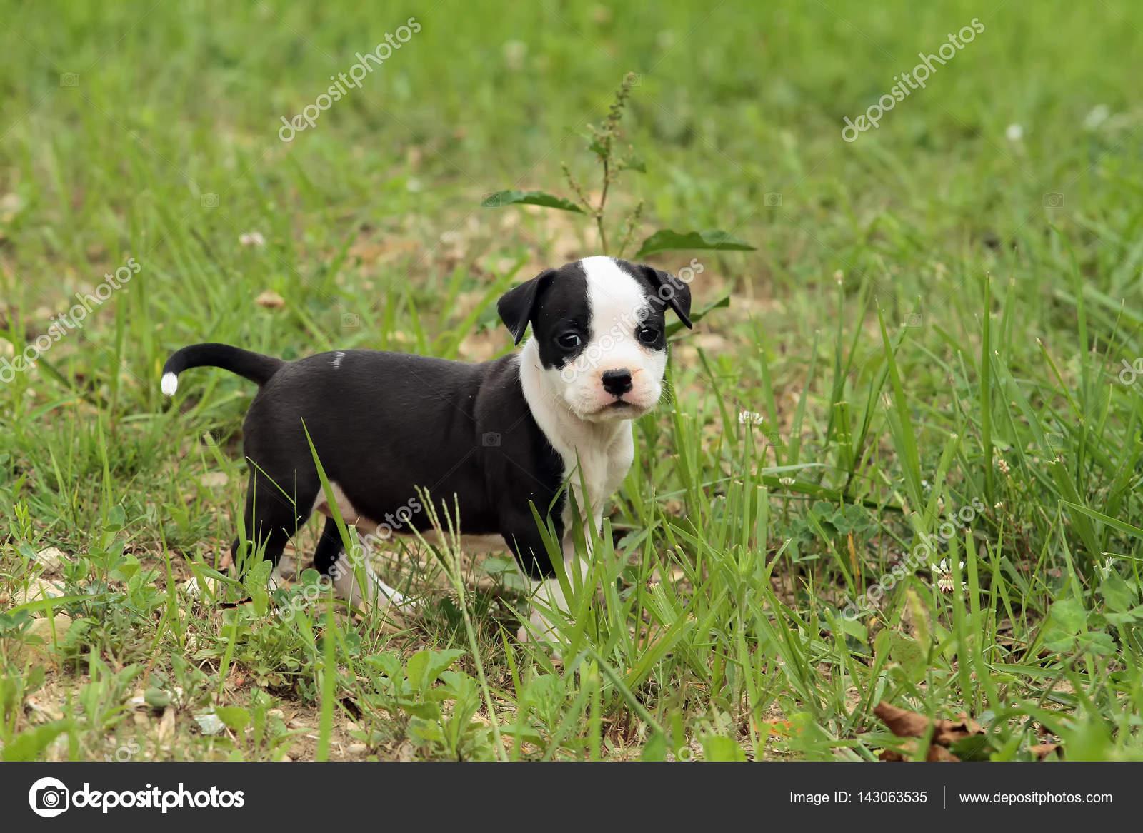 Cudowna Pies Szczeniak Słodkie amstaff — Zdjęcie stockowe © ricantimages JG38