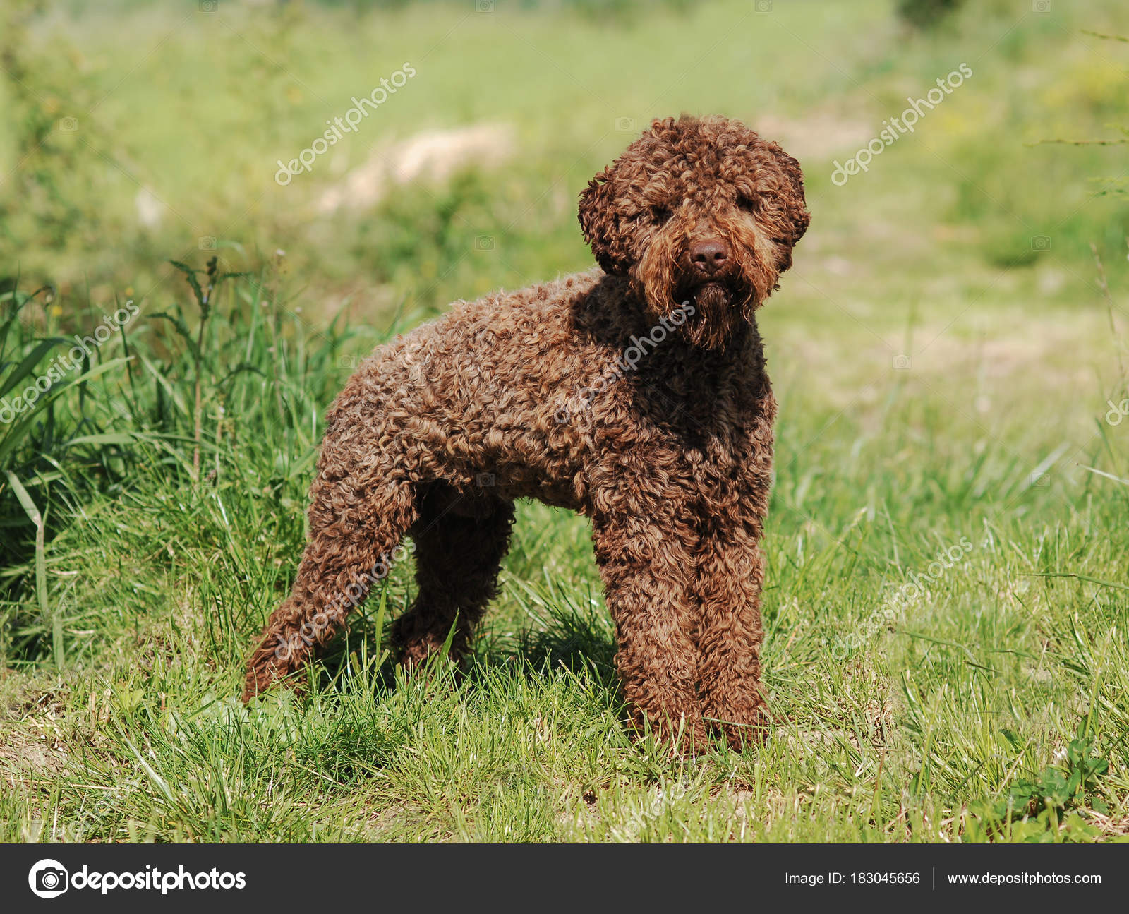 lagotto romagnolo truffle dog stock photo ricantimages 183045656