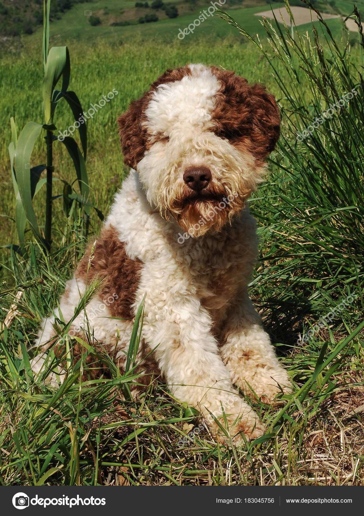 lagotto romagnolo truffle dog stock photo ricantimages 183045756