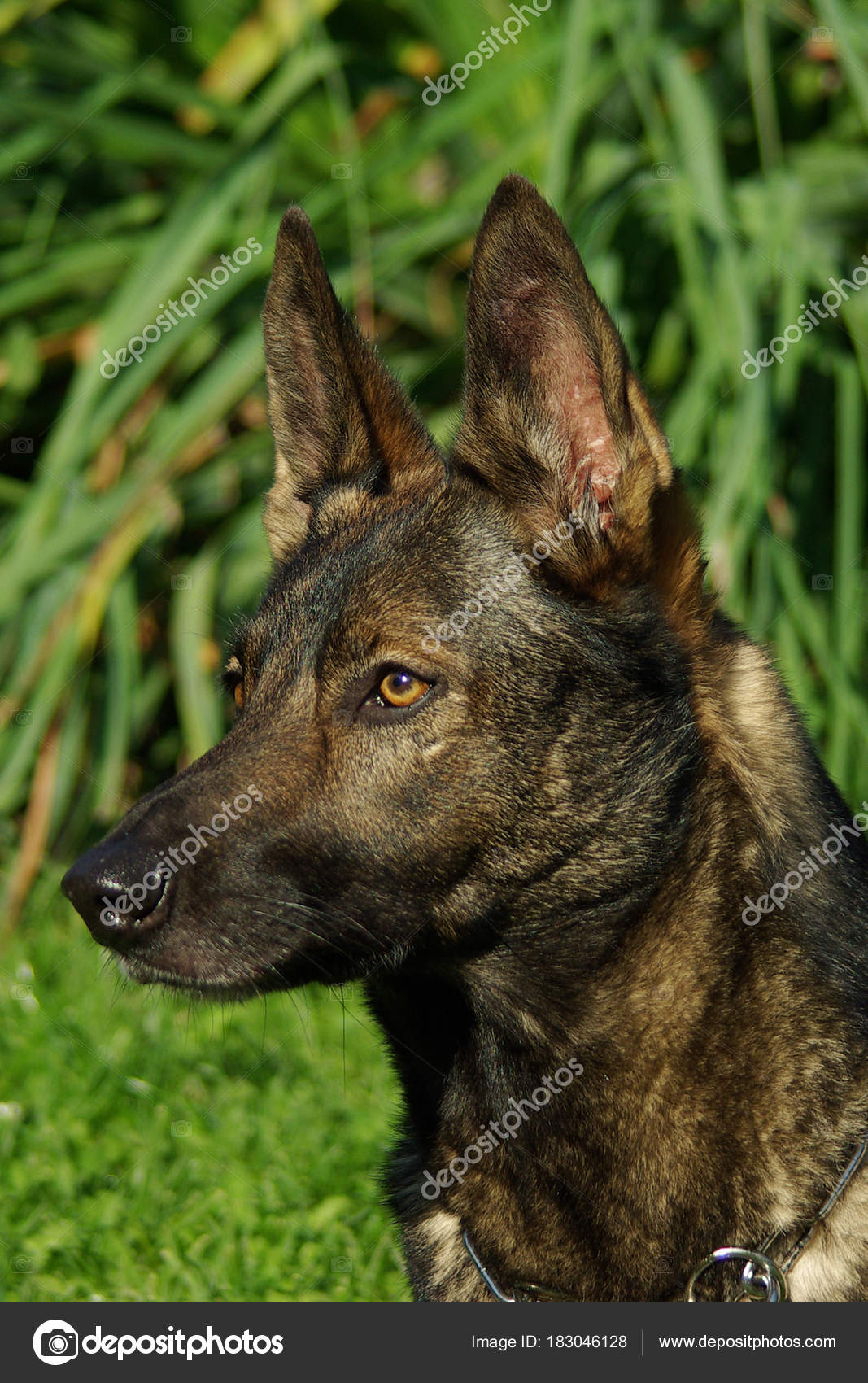 Portrait Of Italian Wolf Dog Stock Photo Ricantimages 183046128