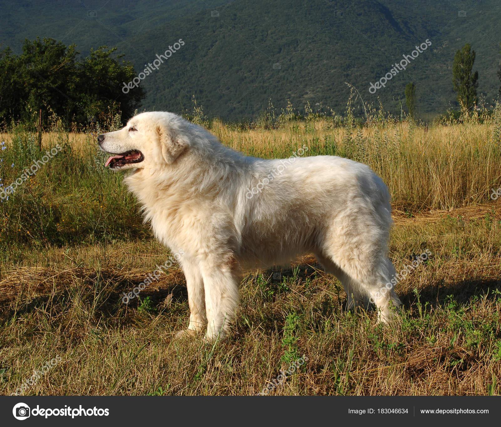Portrait Of Maremma Sheepdog Stock Photo Ricantimages 183046634