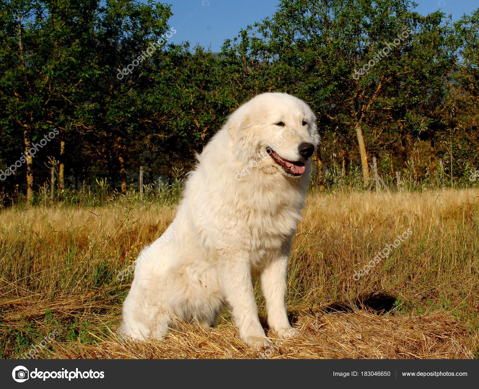 Portrait Of Maremma Sheepdog Stock Photo Ricantimages 183046650