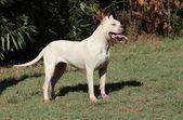 Fotografia Dogo Argentino cane