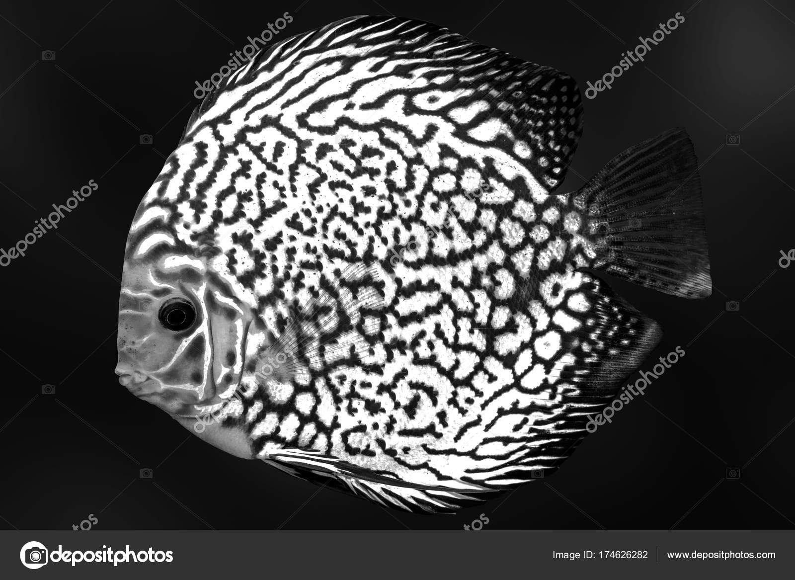 Discus exotic fish black white aquarium solated background animal