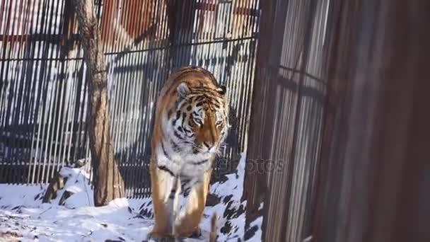 Amur tygr se se mnou příhradové