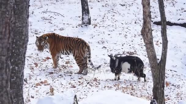 Siberian Tiger and goat in winter.