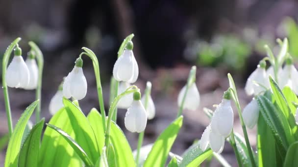 White blooming snowdrop folded
