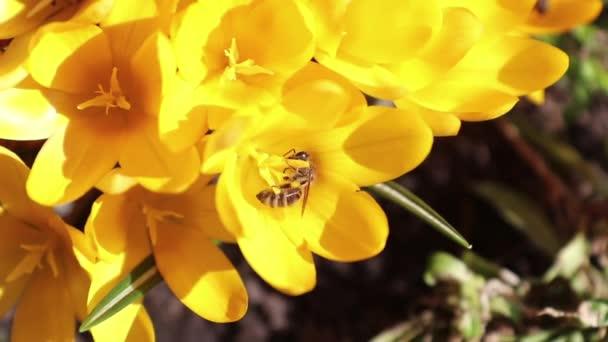 Méh gyűjt nektár és a legyeket. Sárga virágzó krókuszok a könnyű szellő. Süt a nap.