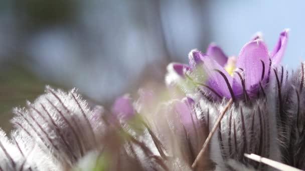 Prairie crocus, cutleaf anemone with water drops  in light breeze.