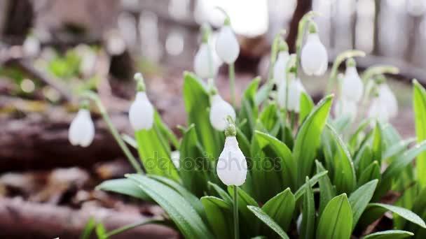 Bílý kvetoucí Sněženka skládací nebo plicatus Galanthus s vodou klesne v lehký vánek. Nízký úhel. Sluníčko. Východ slunce.