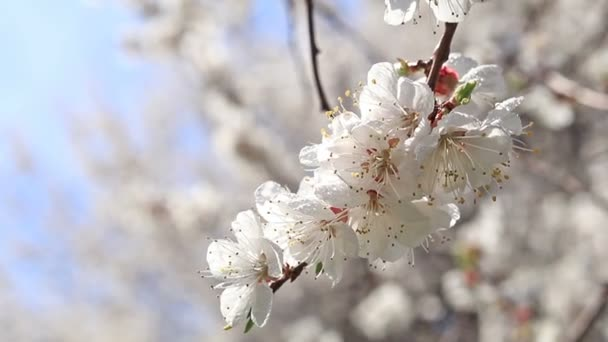 Dynamic scene about branch of a blooming apricot tree on blue sky background