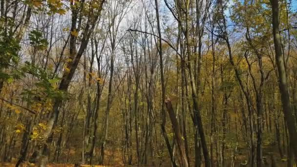 Panoramic motion through a colorful autumn forest woods. Dynamic scene.