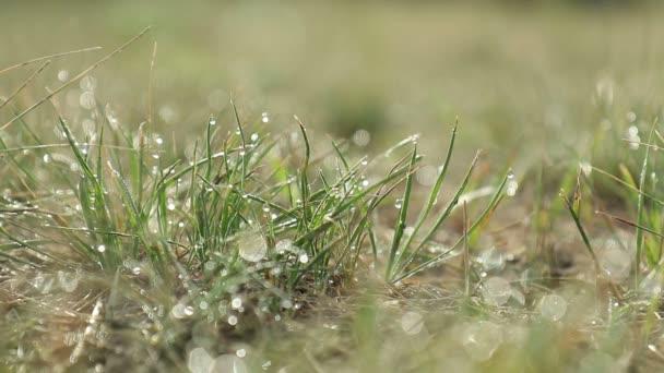 Ranní rosa na zelené trávě na přirozené ranní slunce. Abstraktní čerstvé, zelené trávě pozadí s efektem bokeh rozostřeného světla. Kapky vody, Detailní záběr