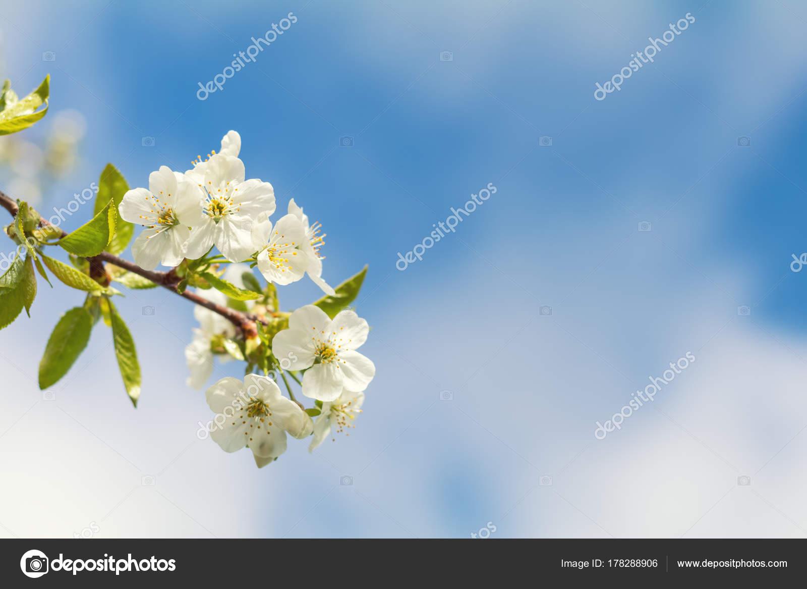 Printemps Arri Re Plan Art Avec Des Fleurs De Cerisier Blanc