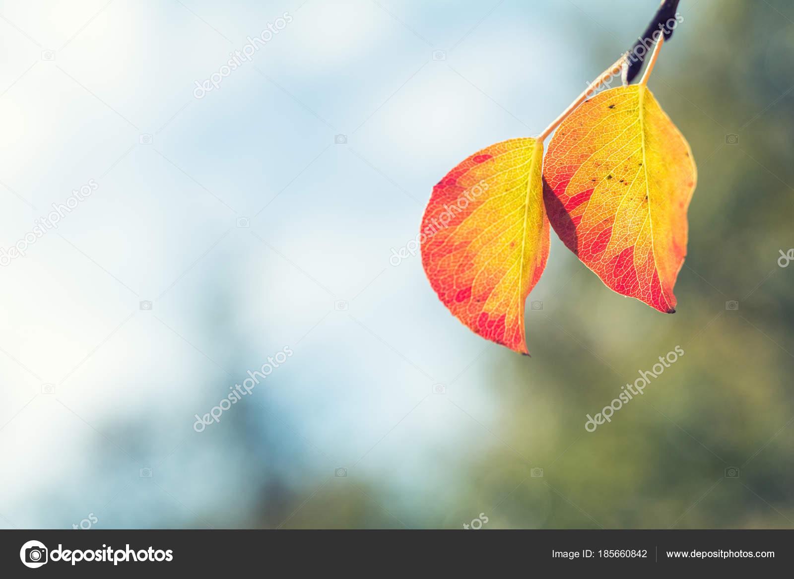 Pera con follaje amarillo rojo en rama, las hojas de otoño en el ...