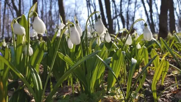 White blooming snowdrop folded or Galanthus plicatus with water drops in light breeze. Low angle. Sunshine. Sunrise.