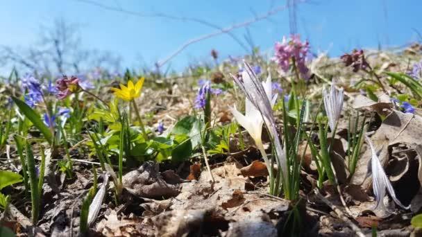 Divoký šafrán s čůrky obklopen perly jaro v lese na trávníku na svahu v jarní slunečný den. Lehký vánek, dynamické scény.