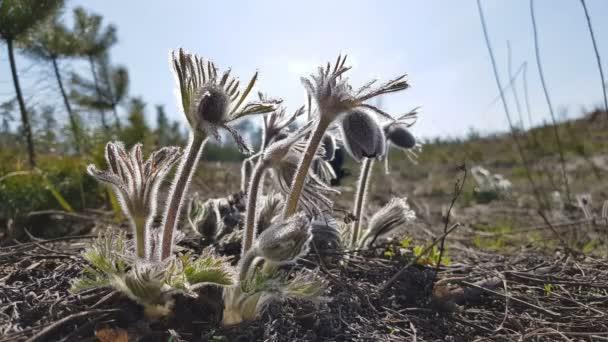 Krásný jarní fialové květy pozadí. Východní pasqueflower, šafrán, prérie cutleaf Sasanka s vodou kapky. Malá hloubka ostrosti. Tónovaný. Kopírovat prostor