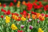 Színes tulipán virágok virágzó egy parkban.