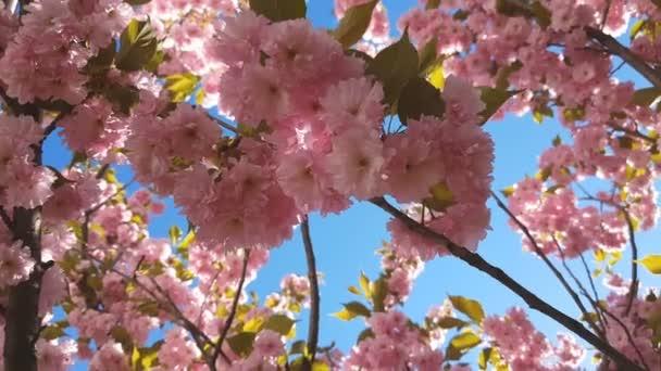 Zblízka růžová větev stromu Cherry Blossom, Sakura, během jarní sezóny na růžovém pozadí. Krásné přírodní scéna s kvetoucí strom a sluneční erupce. Lehký vánek, slunečný den, dynamické scény, 4k video.