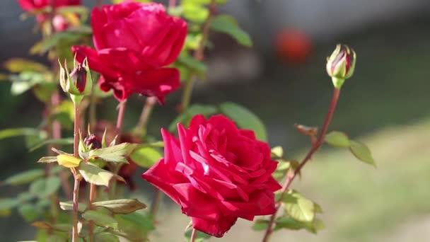 Piros rózsa virág közel, finom szirmok, virágzik a háttérben elmosódott rózsa virágok egy őszi virágos kertben.