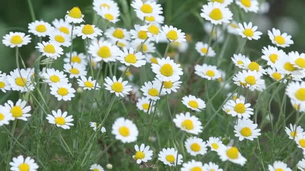 Chamomile flowers field close up with sun flares. Daisy flowers. Beautiful nature scene with blooming medical camomile in sun flare. Sunny day. Summer flowers. Camomille background. Slow motion video.
