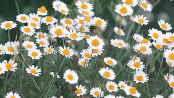 Chamomile flowers field close up with sun flares. Daisy flowers. Beautiful nature scene with blooming medical camomile in sun flare. Sunny day. Summer flowers. Camomille background. Toned video.