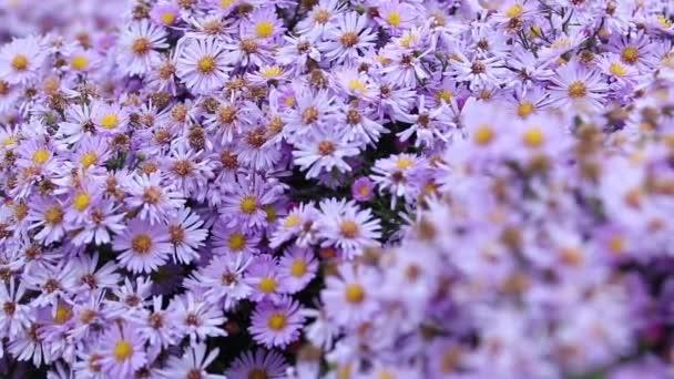 Barevný šeřík alpinus květiny rostou a kvetou v podzimním oblačném dni, včely a motýli létají kolem. Krásné video květinové pozadí.