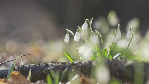 Tender spring flowers snowdrops, white blooming snowdrop folded  with water drops, close up, sunlight backlight