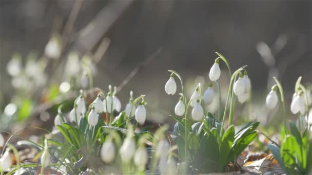 Tender spring flowers snowdrops with water drops harbingers of warming symbolize the arrival of spring. White blooming snowdrop folded