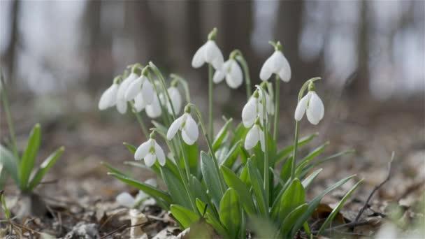 Gyengéd tavaszi virágok hóvirág vízcseppek hírnökei melegedés szimbolizálja a tavasz érkezését. Fehér virágzó hóvirág hajtogatta tavaszi napsütéses nap az erdőben. Könnyű szellő, mozgókép