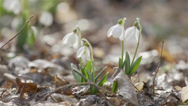Gyengéd tavaszi virágok hóvirág, fehér virágzó hóvirág hajtogatott vízcseppek, közelről