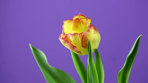Tulipán. Timelapse élénk sárga színű tulipán virág virágzik lila vagy lila háttér. Az idő múlásával a tulipán csokor tavaszi virág kinyílik, közelről. Ünnepi csokor. 4k Uhd videó