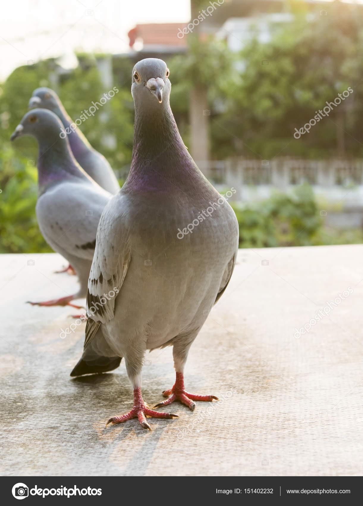 mooie verlichting schot van snelheid racen duif vogel staande op stockfoto