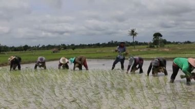 MAHASARAKHARM THAILAND - AUGUST 8,2017 : thai farmer planting rice paddy in domestic agriculture area of mahasarakharm province north eastern of thailand