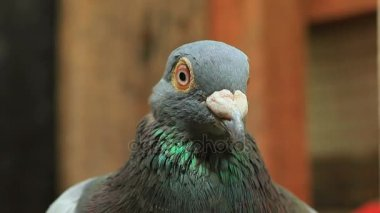 Face of angry pigeon bird in home loft