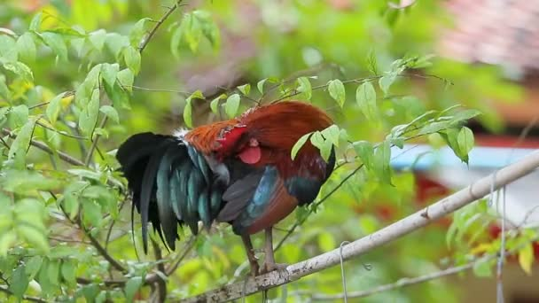 red jungle fowl on bamboo branch
