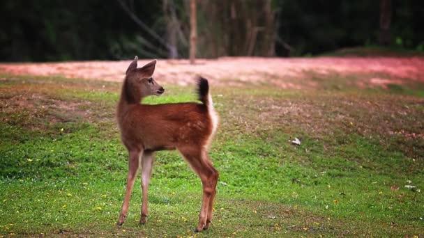 kleine sambar hirsche im khao yai nationalpark thailand
