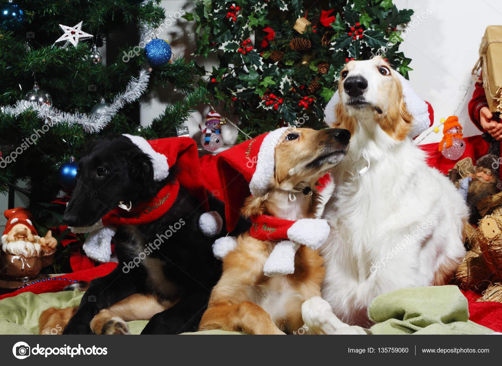 Merry Christmas Puppies.Three Borzoi Puppies Wishing Merry Christmas Stock Photo