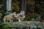 Fényképek Szürke Farkas az erdőben