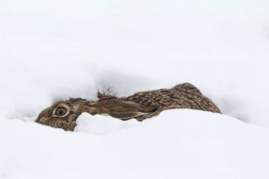 Hare into to the snow