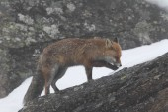 Red fox do sněhu