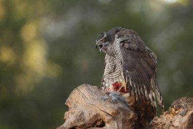 Hunting eurasian goshawk