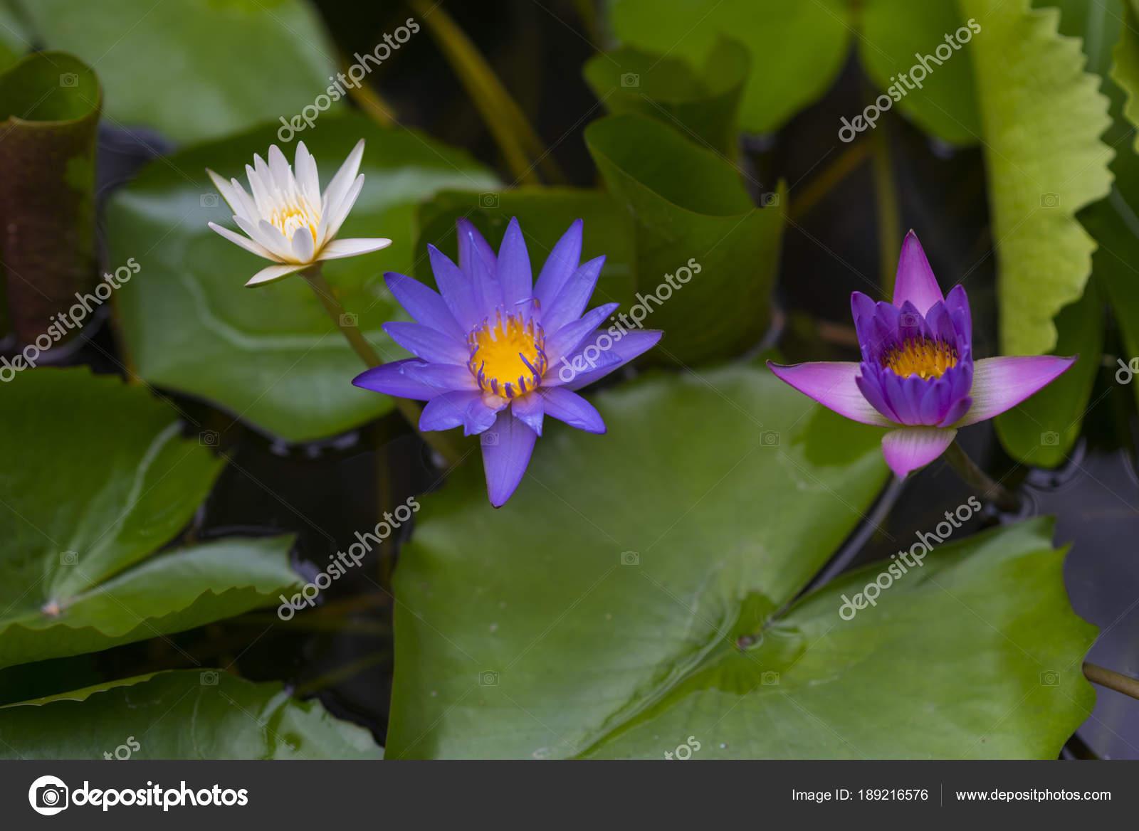 Lotus flower garden stock photo chokniti 189216576 lotus flower garden stock photo izmirmasajfo