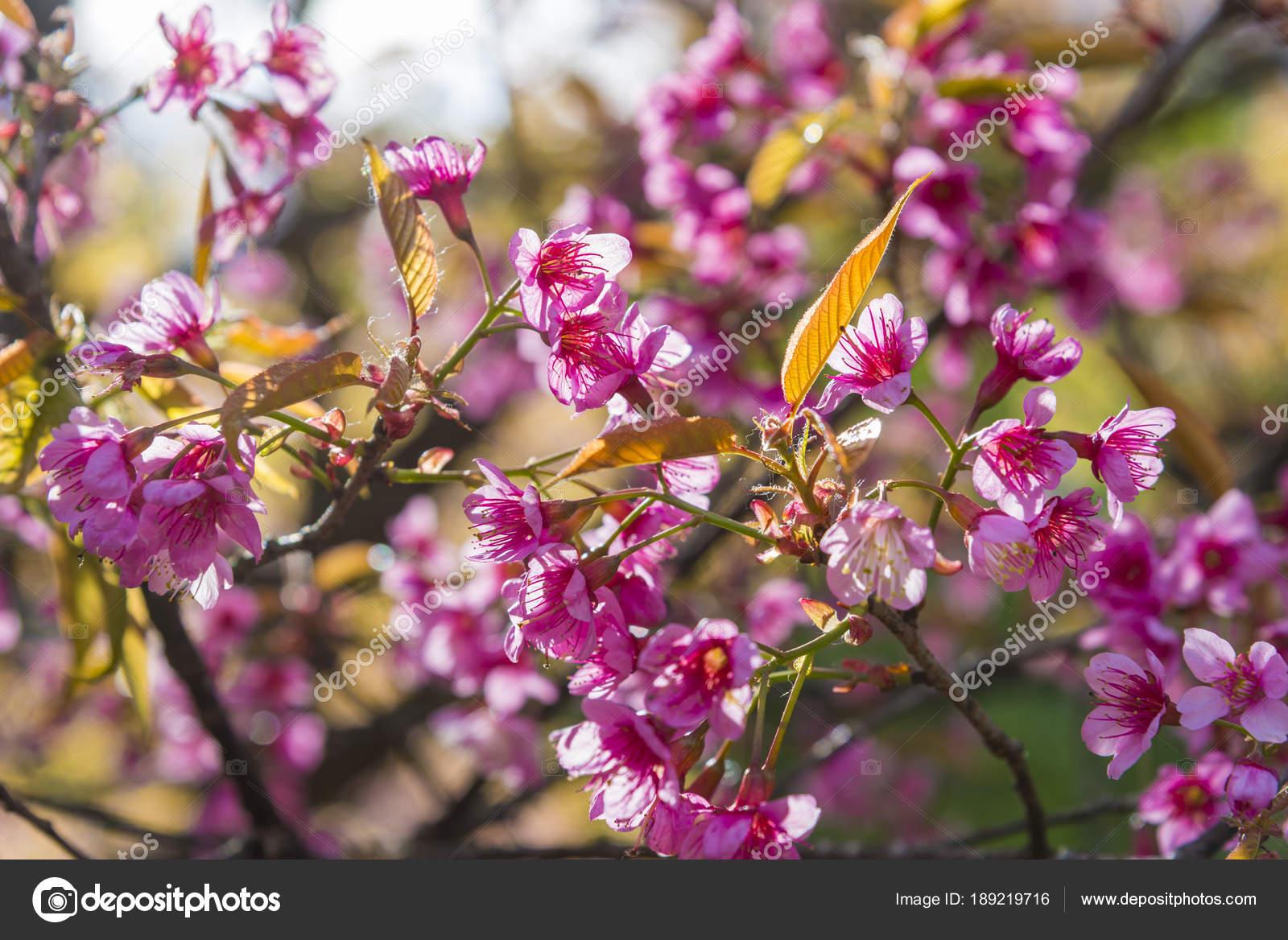 arbre fleur rose fleur sur fond nature fond fleurs printemps