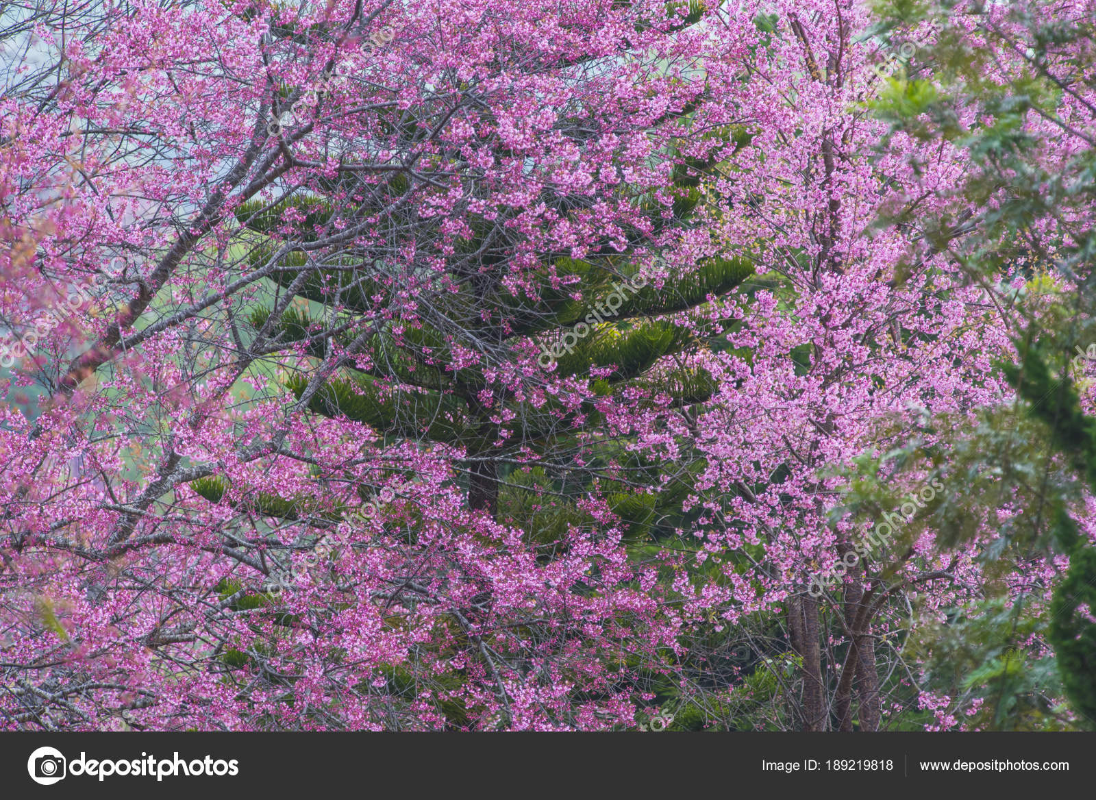 Blossom Pink Flower Tree Nature Background Spring Flowers Background