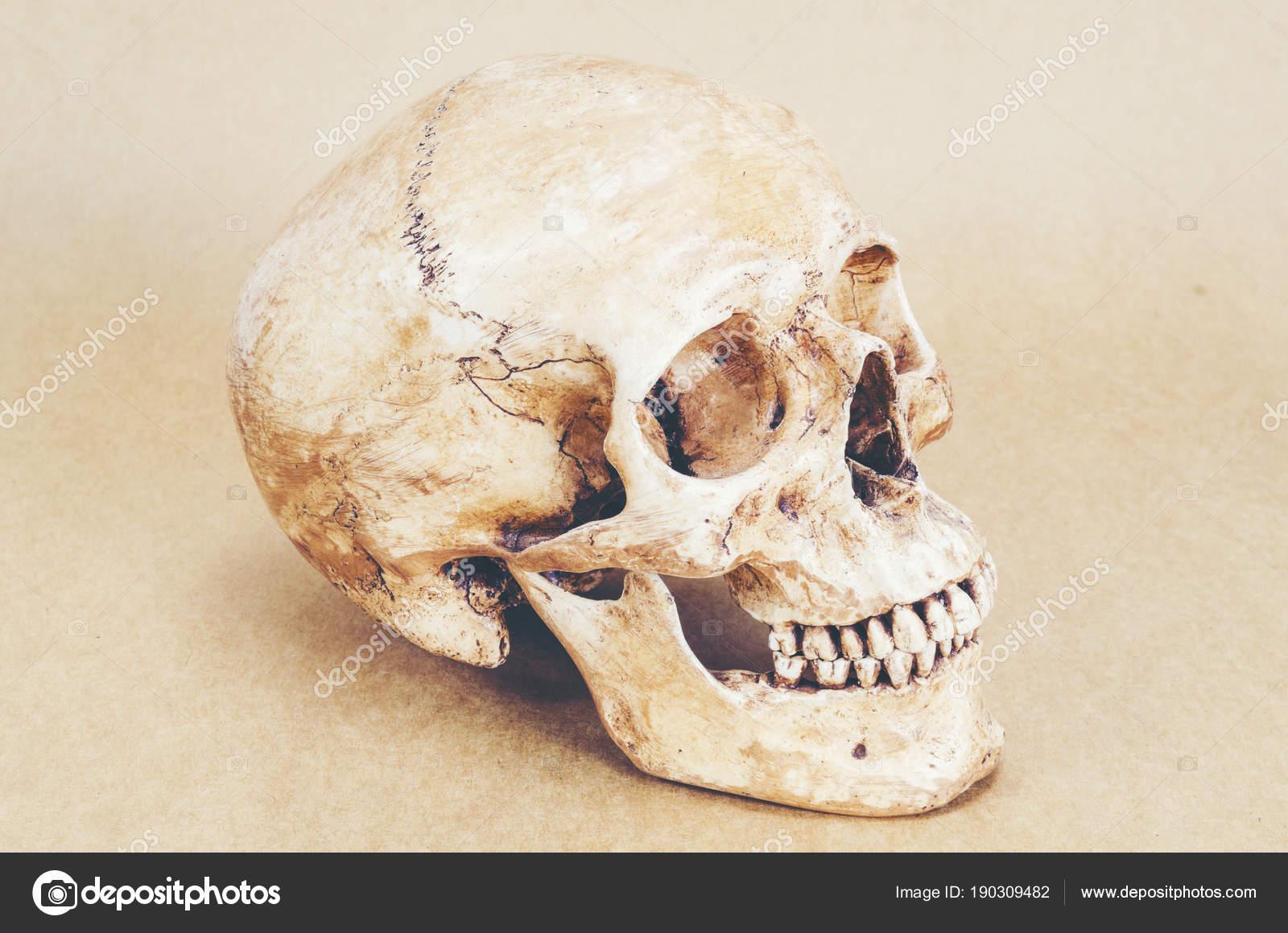 Anatomía Del Cráneo Humano Fondo Imagen Filtro Vintage — Foto de ...