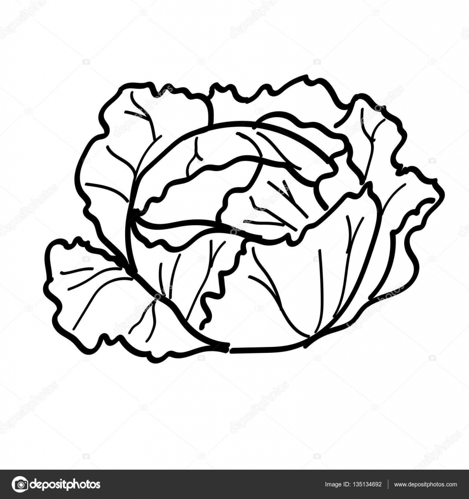 Cabbage Plant Drawing How To Format Cover Letter