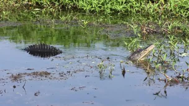 Bull Male Alligator Calling for mate